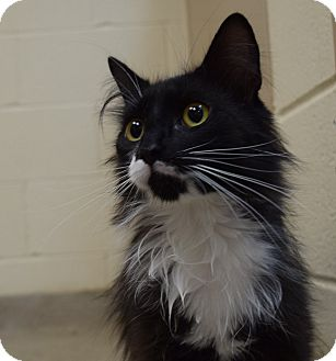 Domestic Longhair Cat for adoption in Bucyrus, Ohio - Bo of Bodacious