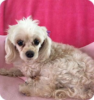 Poodle (Toy or Tea Cup) Dog for adoption in Santa Monica, California - ZOE