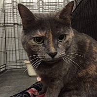 Domestic Shorthair Cat for adoption in Amarillo, Texas - Calypso