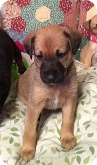 German Shepherd Dog/Labrador Retriever Mix Puppy for adoption in waterbury, Connecticut - Miss Queeney