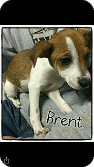 Blue Heeler/Australian Shepherd Mix Puppy for adoption in Mandeville, Louisiana - Brent