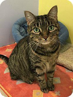 Domestic Shorthair Cat for adoption in Oak Park, Illinois - Katia