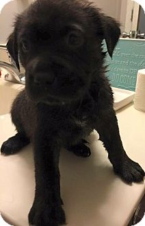 Retriever (Unknown Type) Mix Puppy for adoption in Jacksonville, North Carolina - Mia