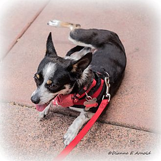 Toy Fox Terrier/Chihuahua Mix Dog for adoption in San Marcos, California - Violet