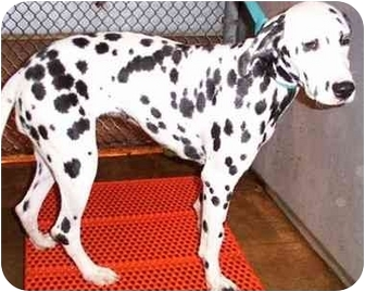 Dalmatian Dog for adoption in Mandeville Canyon, California - Juliet