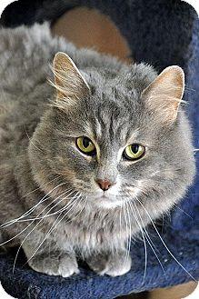 Domestic Mediumhair Cat for adoption in Fort Leavenworth, Kansas - Misty