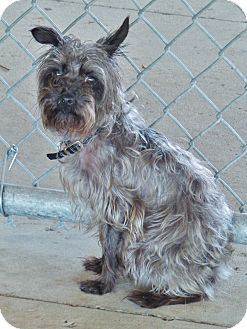 Terrier (Unknown Type, Small) Mix Dog for adoption in Chambersburg, Pennsylvania - Levi