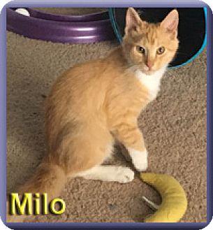 Domestic Mediumhair Kitten for adoption in Aldie, Virginia - Milo
