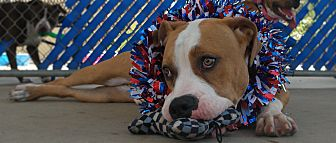 American Pit Bull Terrier/Basset Hound Mix Dog for adoption in San Diego, California - Belgium