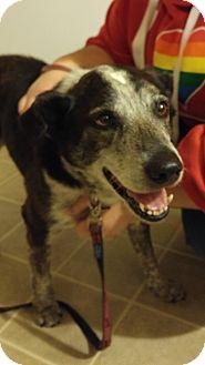 Australian Shepherd/Cattle Dog Mix Dog for adoption in Lebanon, Maine - Molly