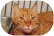 Domestic Shorthair Cat for adoption in Eatontown, New Jersey - Lucas