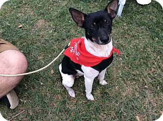 Rat Terrier Puppy for adoption in Oakland, Florida - Frankie