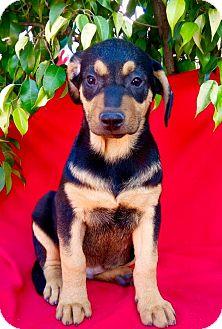 Rottweiler Mix Puppy for adoption in pasadena, California - BAILEY