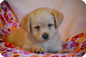 Cairn Terrier/Pug Mix Puppy for adoption in Allentown, Pennsylvania - Everly