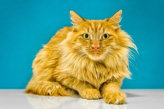 Domestic Longhair Cat for adoption in Chandler, Arizona - Tooley