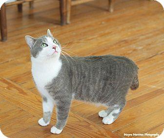 Domestic Shorthair Cat for adoption in Marietta, Georgia - Doc Holiday