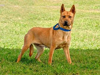 Jindo/Mastiff Mix Dog for adoption in Vero Beach, Florida - PIPPA