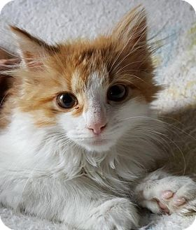 Domestic Mediumhair Kitten for adoption in Fishkill, New York - Rey/Fabiolla