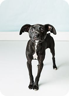 Pointer Mix Puppy for adoption in Hendersonville, North Carolina - Sweetwater