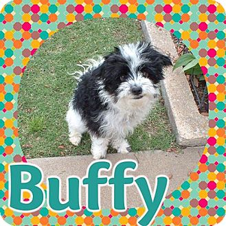 Miniature Poodle/Shih Tzu Mix Dog for adoption in Enid, Oklahoma - Buffy