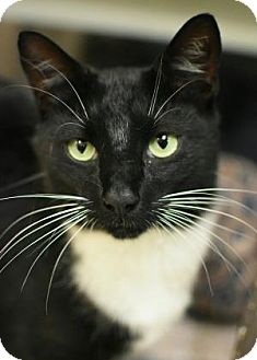 American Shorthair Cat for adoption in Aiken, South Carolina - Maestro
