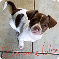Adopt A Pet :: Brownie - Lorain, OH