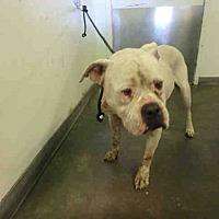 Adopt A Pet :: A1707904 @ South LA Shelter - Beverly Hills, CA