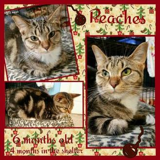 Domestic Shorthair/Domestic Shorthair Mix Cat for adoption in Shelbyville, Kentucky - Peaches