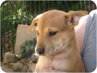 Basenji/Shepherd (Unknown Type) Mix Puppy for adoption in Poway, California - Boo Bagley