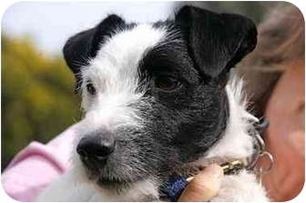 Jack Russell Terrier Mix Dog for adoption in Englewood, Florida - Snatchit