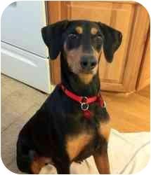 Doberman Pinscher Dog for adoption in Arlington, Virginia - Dasher