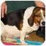Photo 2 - Beagle Mix Dog for adoption in New Carlisle, Indiana - Hillary