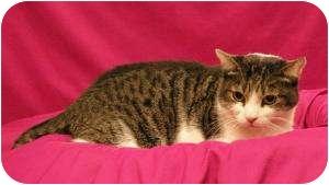 Domestic Shorthair Cat for adoption in Sacramento, California - Taylor