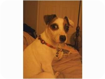 Jack Russell Terrier/Rat Terrier Mix Dog for adoption in Arkansas City, Texas - Jackie in AR