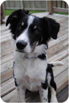 Australian Shepherd/Border Collie Mix Puppy for adoption in Plainfield, Illinois - Macgregor