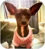 Chihuahua Dog for adoption in Ocean City, New Jersey - Bindy