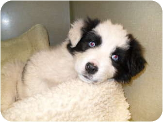 Australian Shepherd/Border Collie Mix Puppy for adoption in Jerome, Idaho - Casanova