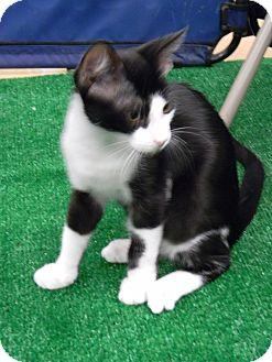 Domestic Shorthair Kitten for adoption in Naples, Florida - Frank