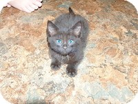 Domestic Shorthair Kitten for adoption in Tampa, Florida - Loudy McShourtypants