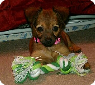 Jack Russell Terrier/Chihuahua Mix Puppy for adoption in Hagerstown, Maryland - Mya