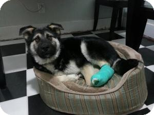 Chow Chow/Shepherd (Unknown Type) Mix Dog for adoption in Saskatoon, Saskatchewan - Quill