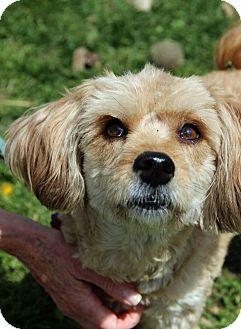 Cockapoo Mix Dog for adoption in Tinton Falls, New Jersey - Aubrey