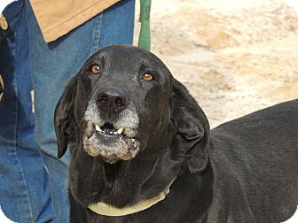 Labrador Retriever/Hound (Unknown Type) Mix Dog for adoption in Hagerstown, Maryland - Elvis Someone please love me!