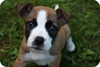 Border Collie Mix Puppy for adoption in Kalamazoo, Michigan - Beamer - Julie