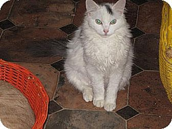 Domestic Longhair Cat for adoption in Sherman Oaks, California - Cleo