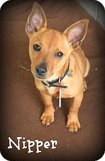 Chihuahua/Dachshund Mix Puppy for adoption in Beaumont, Texas - Nipper