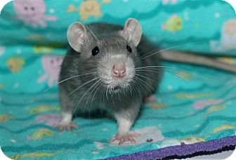 Rat for adoption in Austin, Texas - Jude