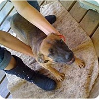 Adopt A Pet :: Daisy Dog - Kingwood, TX