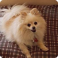 Adopt A Pet :: PIPPIN - Hesperus, CO