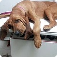 Adopt A Pet :: Abbey! - St, Augustine, FL